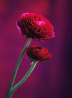 花(ラナンキュラス) 20026001141| 写真素材・ストックフォト・画像・イラスト素材|アマナイメージズ