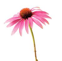 花(エキナセア) 20026001155| 写真素材・ストックフォト・画像・イラスト素材|アマナイメージズ