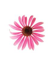 花(エキナセア) 20026001156| 写真素材・ストックフォト・画像・イラスト素材|アマナイメージズ
