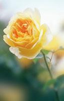 バラ 20026001178| 写真素材・ストックフォト・画像・イラスト素材|アマナイメージズ