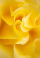 バラ 20026001179| 写真素材・ストックフォト・画像・イラスト素材|アマナイメージズ