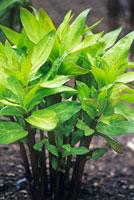 植物(トウワタ)
