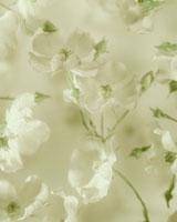 バラ 20026001229  写真素材・ストックフォト・画像・イラスト素材 アマナイメージズ