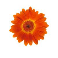 ガーベラ 20026001238| 写真素材・ストックフォト・画像・イラスト素材|アマナイメージズ