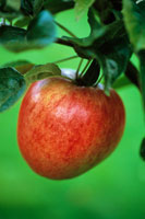 セイヨウリンゴ