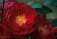 バラ 20026001310| 写真素材・ストックフォト・画像・イラスト素材|アマナイメージズ