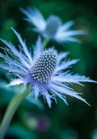 花(エリンギウム)