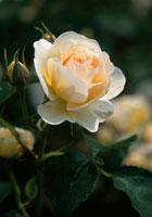 バラ 20026001353| 写真素材・ストックフォト・画像・イラスト素材|アマナイメージズ