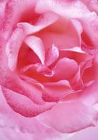 バラ 20026001354| 写真素材・ストックフォト・画像・イラスト素材|アマナイメージズ