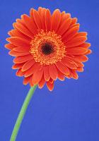 ガーベラ 20026001383  写真素材・ストックフォト・画像・イラスト素材 アマナイメージズ