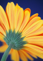 ガーベラ 20026001384  写真素材・ストックフォト・画像・イラスト素材 アマナイメージズ