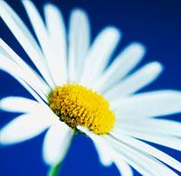 花(カミツレモドキ)