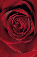 バラ 20026001548| 写真素材・ストックフォト・画像・イラスト素材|アマナイメージズ