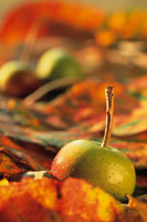 野生のリンゴ
