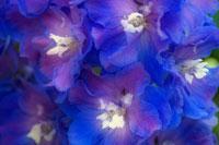 花(ヒエンソウ) 20026001611| 写真素材・ストックフォト・画像・イラスト素材|アマナイメージズ