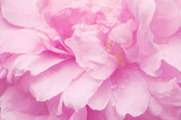 バラ 20026001617| 写真素材・ストックフォト・画像・イラスト素材|アマナイメージズ