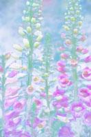 花(キツネノテブクロ) 20026001638| 写真素材・ストックフォト・画像・イラスト素材|アマナイメージズ