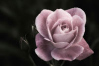 バラ 20026001653| 写真素材・ストックフォト・画像・イラスト素材|アマナイメージズ