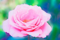 バラ 20026001654| 写真素材・ストックフォト・画像・イラスト素材|アマナイメージズ