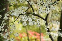 花の咲くハナミズキ