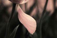チューリップ 20026001684| 写真素材・ストックフォト・画像・イラスト素材|アマナイメージズ