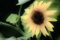 ヒマワリ 20026001728| 写真素材・ストックフォト・画像・イラスト素材|アマナイメージズ