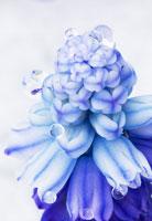 花(ムスカリ) 20026001736| 写真素材・ストックフォト・画像・イラスト素材|アマナイメージズ