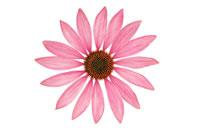 花(エキナセア) 20026001782| 写真素材・ストックフォト・画像・イラスト素材|アマナイメージズ