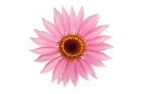 花(エキナセア) 20026001783| 写真素材・ストックフォト・画像・イラスト素材|アマナイメージズ