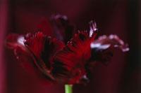 チューリップ 20026001874| 写真素材・ストックフォト・画像・イラスト素材|アマナイメージズ