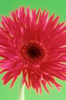 ガーベラ 20026001954  写真素材・ストックフォト・画像・イラスト素材 アマナイメージズ