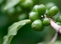 コーヒーの実(アラビカ種)