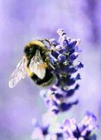 蜂とラベンダー
