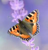 蝶々とラベンダー