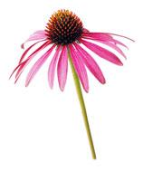 花(エキナセア) 20026002018| 写真素材・ストックフォト・画像・イラスト素材|アマナイメージズ