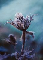 花(ジャイアントシーホーリー) 20026002025| 写真素材・ストックフォト・画像・イラスト素材|アマナイメージズ