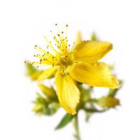 花(セントジョンズワート) 20026002051| 写真素材・ストックフォト・画像・イラスト素材|アマナイメージズ