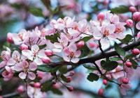 花(野生リンゴ)