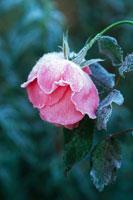 霜がついたバラ