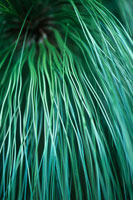 植物(モンテスマ松)
