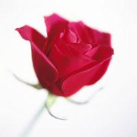 バラ 20026002133| 写真素材・ストックフォト・画像・イラスト素材|アマナイメージズ