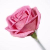 バラ 20026002139| 写真素材・ストックフォト・画像・イラスト素材|アマナイメージズ