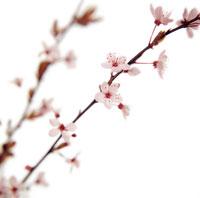桜 20026002150| 写真素材・ストックフォト・画像・イラスト素材|アマナイメージズ