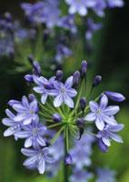 花(紫君子蘭)