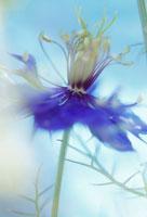 花(黒種草)