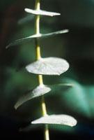 植物(ユーカリ)