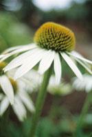 花(エキナセア) 20026002285| 写真素材・ストックフォト・画像・イラスト素材|アマナイメージズ