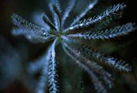 植物(ヤロウ)