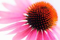 花(エキナセア)