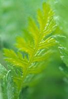 植物(ヤロウ) 20026002338| 写真素材・ストックフォト・画像・イラスト素材|アマナイメージズ